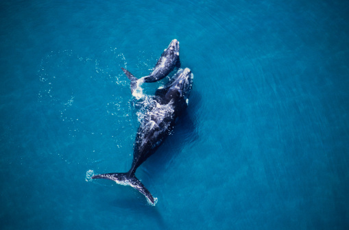 Whale「southern right whale, eubalaena australis,mother and calf, valdes penin」:スマホ壁紙(8)