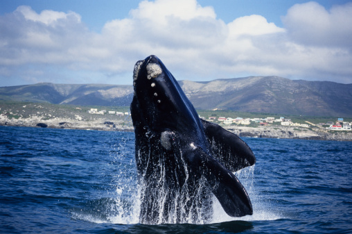Carefree「southern right whale, eubalaena australis, breaching, gaansbai, s africa」:スマホ壁紙(13)
