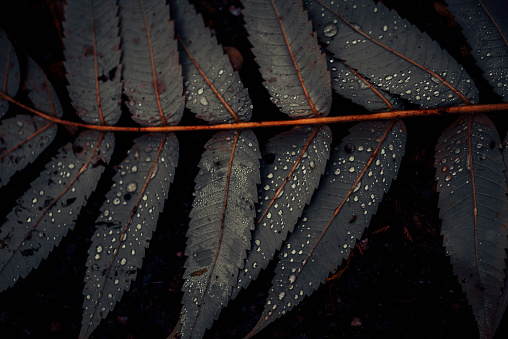 秋「Leaf of Staghorn sumac, close-up」:スマホ壁紙(16)