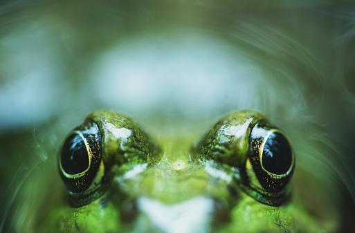かわいい「ピーカブーのカエル」:スマホ壁紙(8)