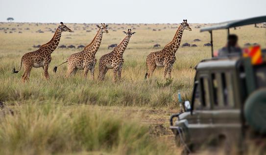 ボツワナ「キリンの一団サヴァナ」:スマホ壁紙(11)