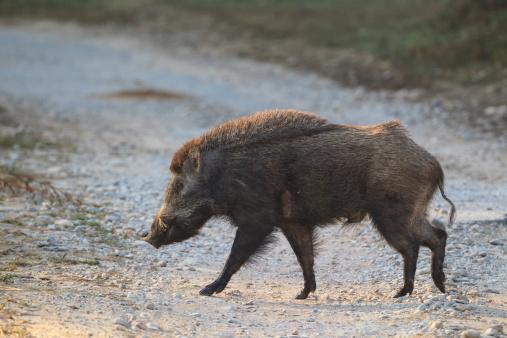 Boar「India, Uttarakhand, Wild boar at Jim Corbett National Park」:スマホ壁紙(19)
