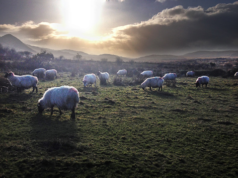 County Cork「Sheep Farm」:スマホ壁紙(11)