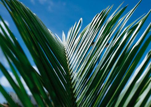Northern Mariana Islands「Leaf of Palm」:スマホ壁紙(9)