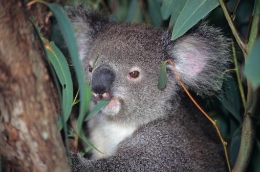 Arboreal Animal「Koala (Phascolarctos cinereus) eating a eulalyptus (genus Eucalyptus) leaf, Australia NSW」:スマホ壁紙(12)