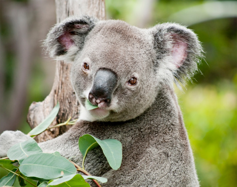 コアラ「コアラ食べるユーカリ」:スマホ壁紙(8)
