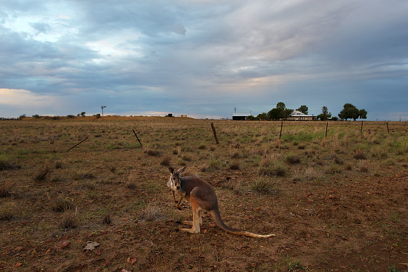Kangaroo「Record Drought-Declared Throughout The State of Queensland」:写真・画像(13)[壁紙.com]