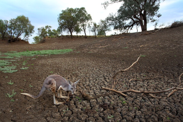 Kangaroo「Record Drought-Declared Throughout The State of Queensland」:写真・画像(15)[壁紙.com]