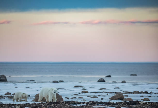 Polar bears along the coast of Hudson Bay waiting for the bay to freeze over, Manitoba, Canada:スマホ壁紙(壁紙.com)