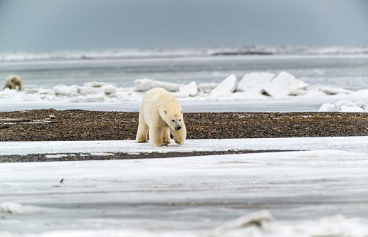 Arctic National Wildlife Refuge「Polar Bears (Ursus Maritimus) near Kaktovic, Barter Island, Alaska 」:スマホ壁紙(19)