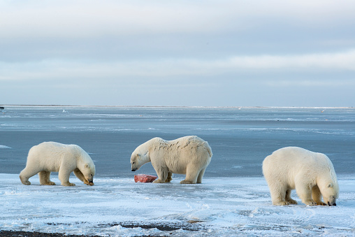 Arctic National Wildlife Refuge「Polar Bears (Ursus Maritimus) near Kaktovic, Barter Island, Alaska 」:スマホ壁紙(3)