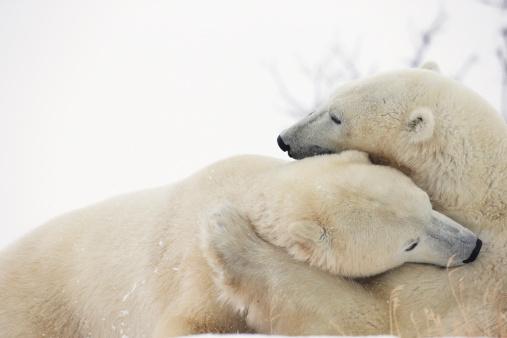 Polar Bear「Polar Bears (Ursus Maritimus) Play Fighting Along The Shores Of Hudson's Bay」:スマホ壁紙(10)