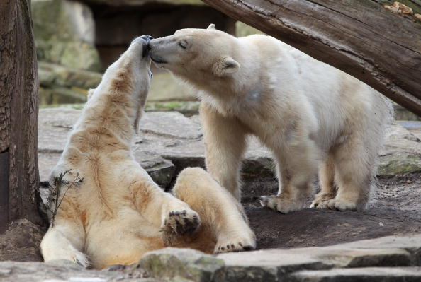 Polar Bear「Knut Enjoys Giovanna's Company」:写真・画像(19)[壁紙.com]