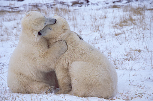 Polar Bear「Polar Bears Cuddling」:スマホ壁紙(0)
