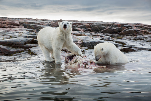 自生「Polar Bears Feeding on Harbour Islands, Hudson Bay, Nunavut, Canada」:スマホ壁紙(7)