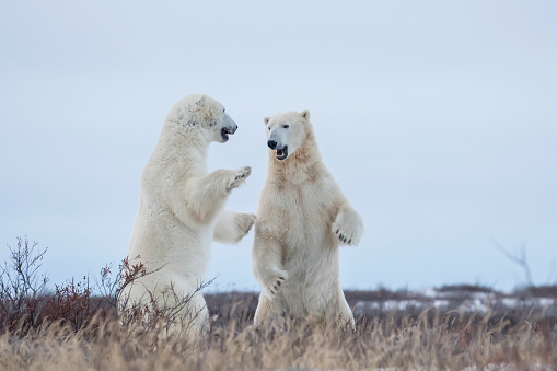 Polar Bear「Polar bears sparring on the coast of Hudson Bay」:スマホ壁紙(6)
