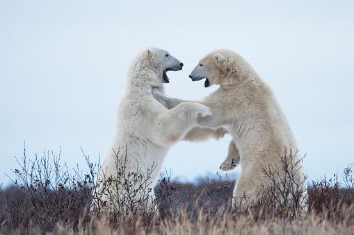 Polar Bear「Polar bears sparring on the coast of Hudson Bay」:スマホ壁紙(15)