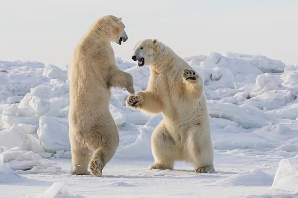 Polar bears (ursus maritimus) sparring on the coast of Hudson Bay:スマホ壁紙(壁紙.com)