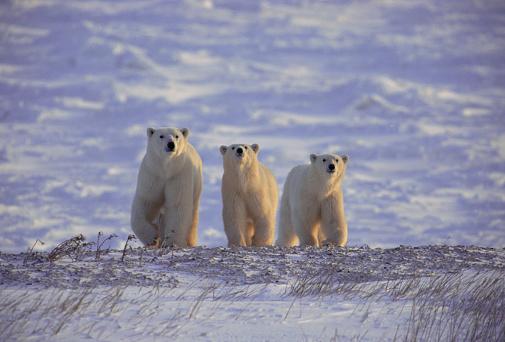 Polar Bear「Polar Bears on the Tundra」:スマホ壁紙(13)