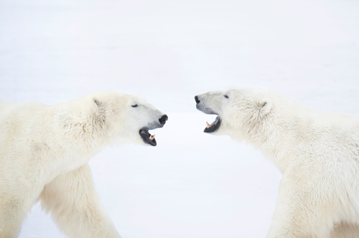 Churchill - Manitoba「Polar Bears standing on snow after playing.」:スマホ壁紙(13)