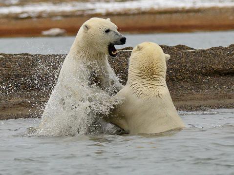 野生動物「Polar bears play fighting in the water」:スマホ壁紙(10)