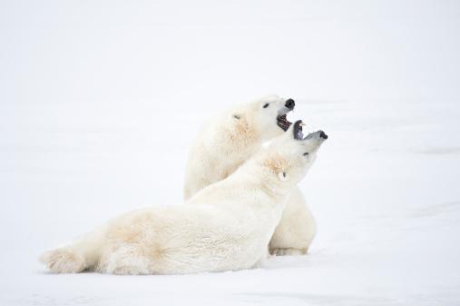 Polar Bear「Polar Bears sparring in snow.」:スマホ壁紙(11)