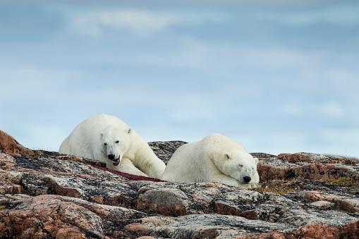 Polar Bear「Polar Bears on Harbour Islands, Hudson Bay, Nunavut, Canada」:スマホ壁紙(13)