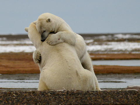 Polar Bear「Polar bears play-fighting on the beach - Hugging」:スマホ壁紙(17)