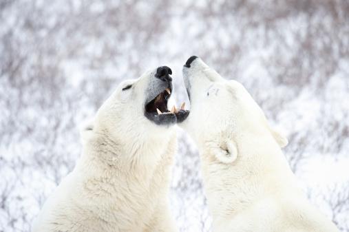 Polar Bear「Polar Bears playing in the snow.」:スマホ壁紙(13)