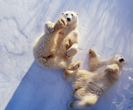 Manitoba「Polar bears (Ursus maritimus) lying on backs, Manitoba, Canada」:スマホ壁紙(10)
