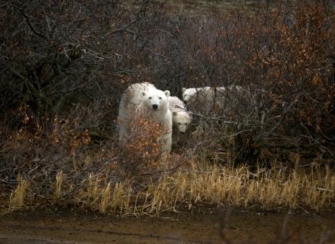 Bear Cub「Polar Bears, Cape Churchill, Canada」:スマホ壁紙(15)