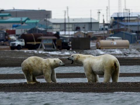 Kaktovik「Polar bears in front of Village of Kaktovik, AK」:スマホ壁紙(6)