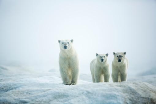 Nunavut「Polar Bears in Fog, Hudson Bay, Nunavut, Canada」:スマホ壁紙(18)