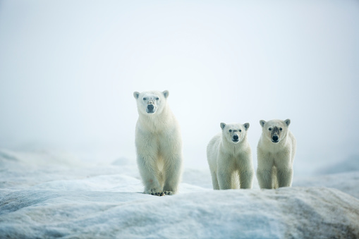Bear Cub「Polar Bears in Fog, Hudson Bay, Nunavut, Canada」:スマホ壁紙(6)