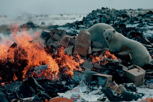 Polar Bear「Polar Bears Digging in Garbage Dump」:スマホ壁紙(3)
