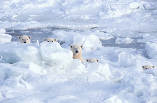 Manitoba「Polar bears behind ice (Digital Composite)」:スマホ壁紙(5)
