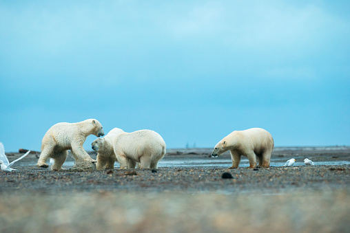 Kaktovik「Polar bears (ursus maritimus) fighting for food; Kaktovik, Alaska, United States of America」:スマホ壁紙(11)