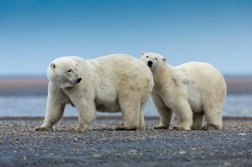 Kaktovik「Polar bears in Arctic National Wildlife Refuge, Kaktovik, Alaska.」:スマホ壁紙(8)