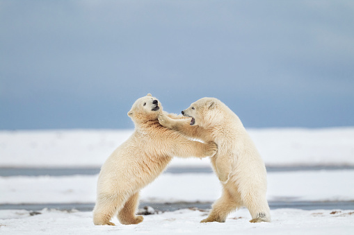 Arctic National Wildlife Refuge「Polar bears play fighting」:スマホ壁紙(8)