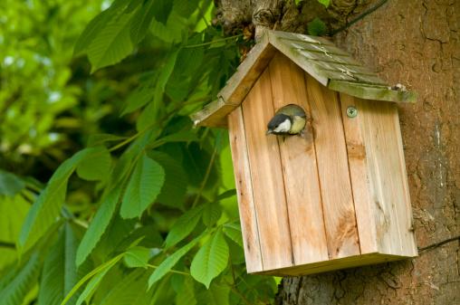 Songbird「Great Tit (Parus Major) in nesting box, Ile De France, Europe, France, Europe」:スマホ壁紙(8)