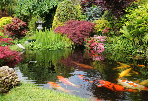 Japanese Maple「A big koi pong with orange fish and greenery」:スマホ壁紙(12)