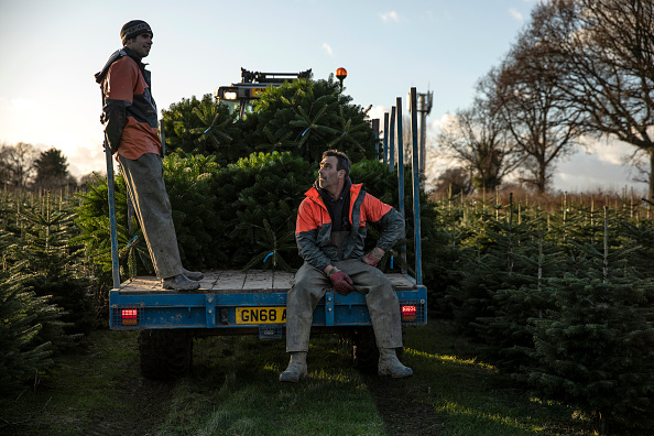 Tree「Christmas Tree Farming At Hole Park In Kent」:写真・画像(3)[壁紙.com]