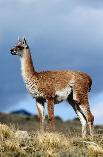 Guanaco「Guanaco, Torres del Paine NP, Chile」:スマホ壁紙(11)