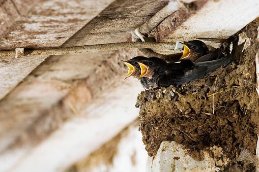 Barn Swallow「Crying Swallow Fledglings」:スマホ壁紙(17)