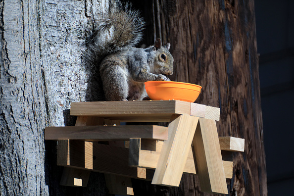 Gray Squirrel「Squirrel In The Morning Sun」:写真・画像(3)[壁紙.com]