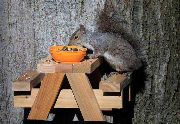 Gray Squirrel「Squirrel In The Morning Sun」:写真・画像(7)[壁紙.com]