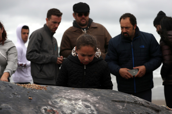 North America「Scientists Investigate As Another Dead Whale Found On California Beaches」:写真・画像(11)[壁紙.com]