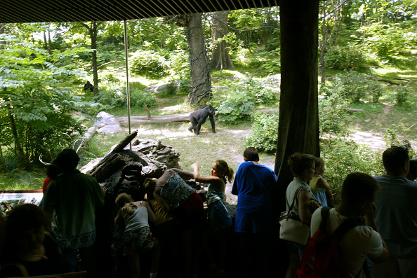Gorilla「Gorillas Spotted in Bronx, New York」:写真・画像(8)[壁紙.com]