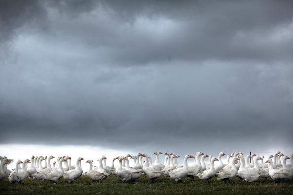 雁「Geese Seen In Fields As They Are Outdoor Reared For Christmas」:写真・画像(14)[壁紙.com]
