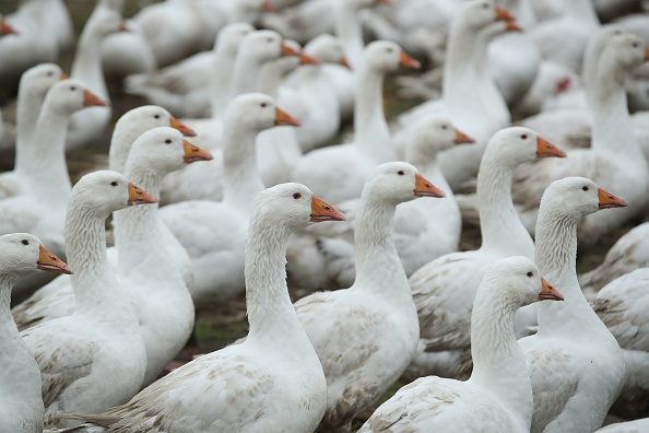 雁「Goose Farms Prepare For Christmas Season」:写真・画像(5)[壁紙.com]